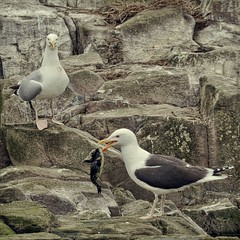 big gull, bigger gull (Black Cat Photos) Tags: uk sea england baby bird dinner blackcat island photography photo big movement europe action gull performance move m chick eat hunter feed perform predator farne farneislands farn steal predate blackback farns farnislands blackcatphotos