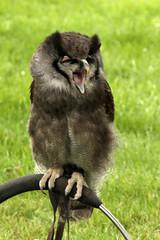 "Milky Eagle Owl 2 (FlyingV99) Tags: school bird hall flying suffolk eagle display country fair owl falcon 2012 talons prey"" ""birds heveningham ""english milkyeagleowl falconry"""