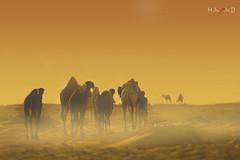 Kuwait Desert Ships (HaMaD.BLaZe) Tags: sunset art landscape nikon desert ships camel kuwait camels hamad بر q8 غروب الصحراء حمد جمال الكويت كويت راعي جمل سفينة بعارين نيكون نياق blazw الفيلكاوي alfailakawi blazeq8 hamadblaze