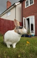 Back garden bunny (felt_tip_felon®) Tags: