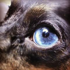 Instagram (pyathia) Tags: dog macro cute puppy square cellphone cell dachshund wiener squareformat shorthair ween blueeye android perl 1x1 dapple doxie htc instagram instagramapp htconex htc1x