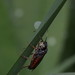 Symphyta indet.
