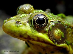 Green Frog - Cook County, Illinois (Griffin Harris) Tags: illinois amphibian frog rana herp greenfrog cookcounty herpetology clamitans griffinh