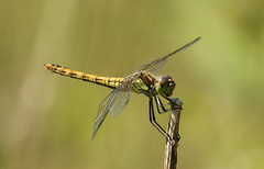 Her other side (Elisabeth (Kelev, Tama, Mazal)) Tags: nature female dragonfly vrouwtje libel sympetrumvulgatum steenrodeheidelibel vagrantdarter korenbout