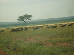 Running Gnus with Acacia Tree (Real Africa) Tags: africa wild tanzania kenya running safari herd grazing wildebeest wildebeestmigration safarianimal migrationmasimara