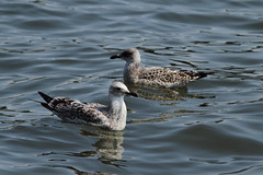 Caspian gull / Larus cachinnans / Pontische meeuw with a Herring gull / Larus argentatus / Zilvermeeuw 1cy (Herman Bouman) Tags: with meeuw larusargentatus herringgull zilvermeeuw caspiangull laruscachinnans 1cy pontische