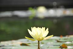 Joey Tomocik (thoth1618) Tags: nyc newyorkcity summer ny newyork flower brooklyn garden waterlily lily bokeh botanic bbg brooklynbotanicgarden lilypad nymphaea 2012 photooftheday hardywaterlily summer2012 joeytomocik