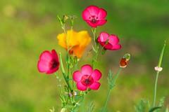 Morning Colours (picaddict) Tags: morning germany garden morgen garten goldpoppy linumrubrum redflax eschscholziacalifornia roterflachs
