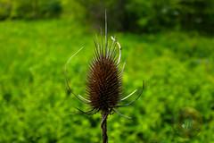 Ouch! (Glotzsee) Tags: nature blueridgeparkway blueridgemountains blueridge virginia scenery plant