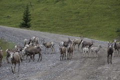 Gang of Sheep (Oldman Watershed) Tags: bighornsheep wildlife ewe lamb willowcreek landscape