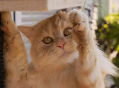 Hello friends ! (FocusPocus Photography) Tags: linus katze kater cat chat gato feline tier animal haustier pet hello hallo
