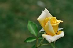 Rose (Martin PEREZ 68) Tags: rose re rosen rosa vert verde green jaune amarillo yellow flor fleur flower color couleur bokeh