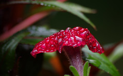 Ruby Red Raindrops (vbd) Tags: pentax k3 vbd smcpentaxda55300mmf458ed ct connecticut flower petunia red newengland 2016 summer2016 raindrops handheld manualfocus petals bokeh