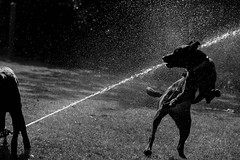 Water Fight! (maytag97) Tags: maytag97 dog dogs water sprinkler spray blackandwhite bw blackwhite contrast shadow