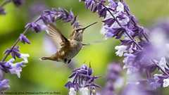 Allen's Hummingbird (P8191740-Edit) (Michael.Lee.Pics.NYC) Tags: sanfrancisco goldengatepark botanicalgarden succulentgarden allenshummingbird bird female salvia inflight feeding nectar bokeh olympus em5 markii mkii lumix100300mm