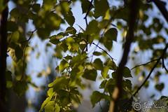 Finland (FotoLintu) Tags: tree wood leaves suomi finland finnish forest outdoor outside sky green birch kes summer depthoffield