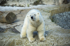 Eisbärkind Lili (DeanB Photography) Tags: eis eisbär eisbären meer zoo zooammeer wasser tiere tier natur kind tochter