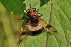 Volucella pellucens (Hugo von Schreck) Tags: hugovonschreck volucellapellucens schwebfliege hoverfly fliege fly outdoor insect insekt macro makro tamronsp90mmf28divcusdmacro11f017 gemeinewaldschwebfliege canoneos5dsr