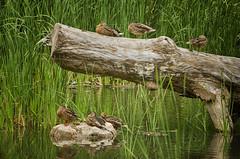Ducks in a Row (flashfix) Tags: august202016 2016 2016inphotos nikond7000 nikon ottawa ontario canada 55mm300mm ducks log mallard animals fowl birds marsh conservationarea tallgrass nature mothernature