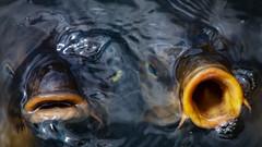 Open Mouths of the Carps (Shinichiro Hamazaki) Tags: mouth carp fish