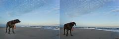 Yearning & Rumination (dmj.dietrich) Tags: dog gsp germanshorthair germanshorthairpointer shore shoreline waves ocean surf atlantic atlanticocean outdoor
