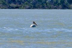 Pelican 2 (Bucky-D) Tags: lundar longpointbeach sand avian water fz1000 lakemanitoba waterfowl lake bird pelicans beach lakemanitobafirstnation manitoba canada ca