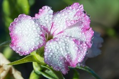 Sweet William after frost_0292.jpg (ImaginingsLifeImages) Tags: garden dianthus flowers macro flora caryophyllales nature water frost floraandfauna caryophyllaceae sweetwilliam weather waterdrops barbatus armidale nsw australia
