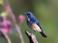 Himalayan Bluetail _ -32  (mahi mahi 163) Tags: bluetail flycatcher 600mm  china