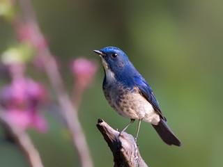 Himalayan Bluetail _ 百花嶺-32 ☺☺☺