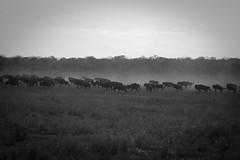 wildebeest (tobiasbegemann) Tags: wildebeest africa dry bw black white tobias begemann saarbrcken germany world street landscape people animal travel nature photography creative commons flickr animals