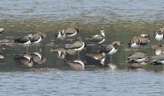 Lapwings (Turtlerangler) Tags: lapwing leightonmoss cumbria uk bird
