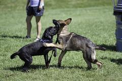 IMG_9620 (kris10pix) Tags: dogpaddle2016 dogs puppies puppy splash pool fetch dog wisconsin capitolk9s mutts purebreed leap madisonwi goodmanspool wetdog summer