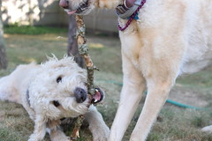DSC_0183 (ghoulia) Tags: goldendoodle goldenretriever poodle labradoodle labrador rovercom dogvacay