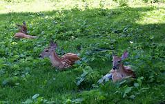 deer (greenelent) Tags: deer animals nature mi harborspringsmi michigan 365 photoaday