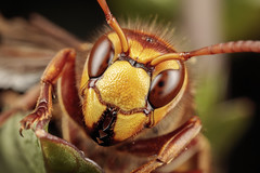 Strike a pose (Jacko 999) Tags: fly roberteede hornet macro extrememacro insect canon 5dsr mpe65mm wow cool closeup tiny small