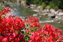 Macro sul ruscello (xiaolifra) Tags: macro color colors colori fiori gerani fiume riva river lake lago verdon gorges ruscello fioritura fiorito fiore panorama landscape