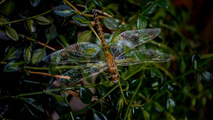 Dragonfly (Terry L Richmond) Tags: dragonfly wings detail macro colorful delicate canon6d canon1740
