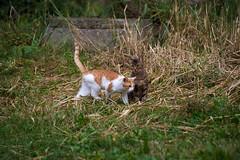 2 (akk_rus) Tags: 70300mmf4556gvr nikkor70300mmf4556gifedafsvr nikkor 70300mm nikon d800 nikond800 bulgaria   europe  burgas  cat cats pet pets chat chats animal animals nature feline gato    streetcats straycats