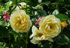 Roses and friends (idunbarreid) Tags: roses pelargoniums challengeclub