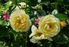 Roses and friends (idunbarreid) Tags: roses pelargoniums challengeclub doublefantasy