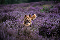 Yellow vs purple (Angelbattle bros) Tags: yellow color flower light speed dog puppy summer beautiful animal cute colors running playing funny pet purple colorful doggy furry blooming playful heath adorable mutt