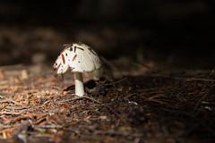 Mushroom Mushroom (lacygentlywaftingcurtains) Tags: mushroom warmtones earthtones outside nature white fungi cottage ottylake cedar ground cover sooc