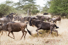 The Chase (Yooch) Tags: tanzania wildebeest safari attack africa african wildlife canon7d canon 100400 100400mm 7d charge charging attacking chasing chase