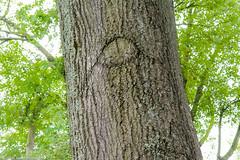 EyeofOurOak (Zzzzt!Zzzzt!) Tags: tree oak 100yearsold cutdown sadness eye goodbye