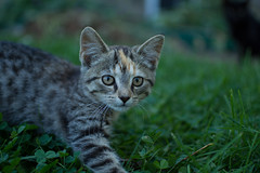 Curious Kitty (benevolentkira7) Tags: cat cats kitty kitties paw paws jump pounce cute playful feline meow me0w jumpy fun