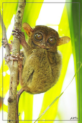 IMG_6492 (jlpvina) Tags: leo vina photography canon eos 7d philippines pilipinas visayas bohol tarsier little monkey