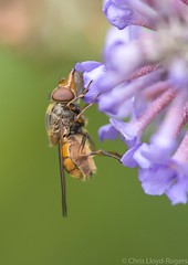 my big nose (chris.lloydrogers) Tags: rhingiacampestris hoverfly snout insect nature wildlife macro