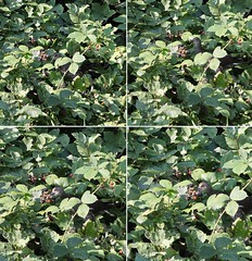 Bramble picking.........click image move cursor to view large. (stu.bloggs..Dont do Sundays) Tags: birds bird waterfowl coot juvenile water fowl autumn berries brambles fruit eating foliage leaves september 2016 wildlife sunny sunshine 27c collage sequence