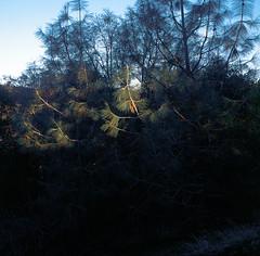 Glowing Pines (THHintze) Tags: mamiya mamiya6 75mm e100vs slide 120 mood