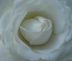 september rose (polletjes) Tags: september white wit weiss blanc roos rose hart heart soft zacht velvet fluweel natuur nature bloem fleur blume flower beauty